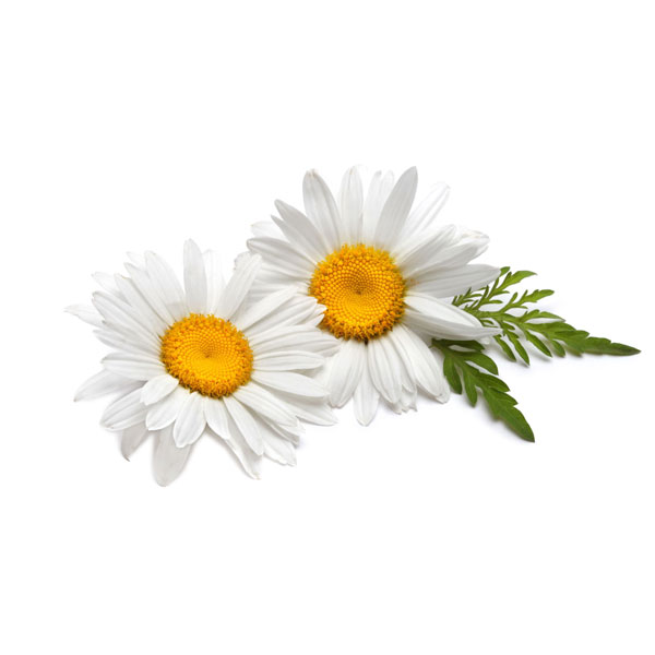 Chamomile oil removes irritation while hydrating and moisturizing. Adds radiance to the skin